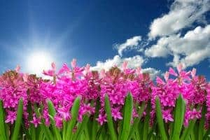 Pink flowers with sky in background.